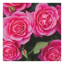 Rose Plant - Gemma