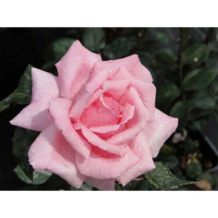 Rose Plant - Helen Robinson