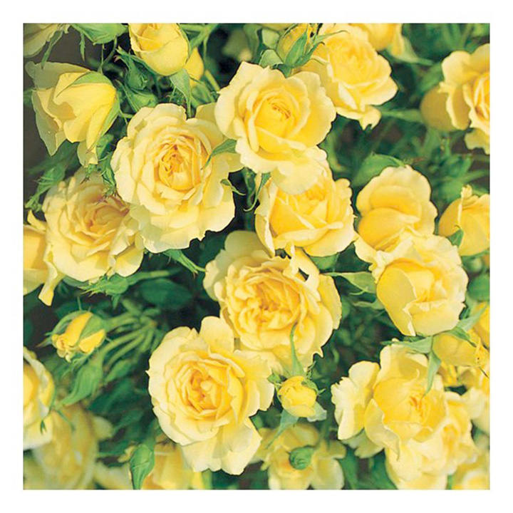 Rose Plant - House Beautiful
