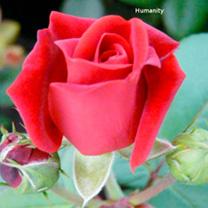 Rose Plant - Humanity
