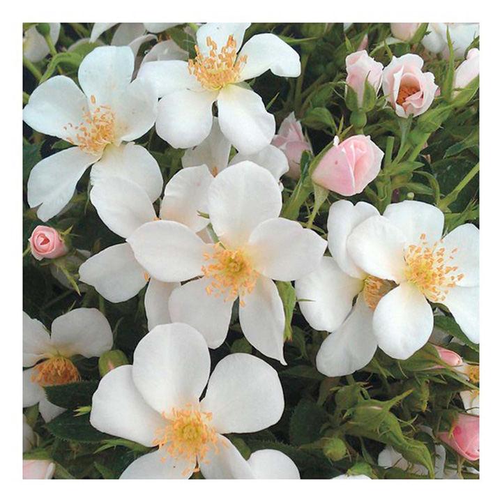 Rose Plant - Ice Dance