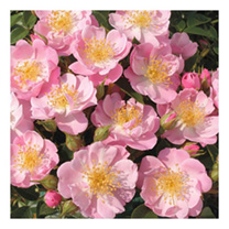 Rose Plant - The Lakeland Rose