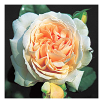 Expect this to develop as a side-ways spreading mound. It is very free-flowering and has pleasing scent. Scent 6. Colour pearly blush. Height 80cm. Sh