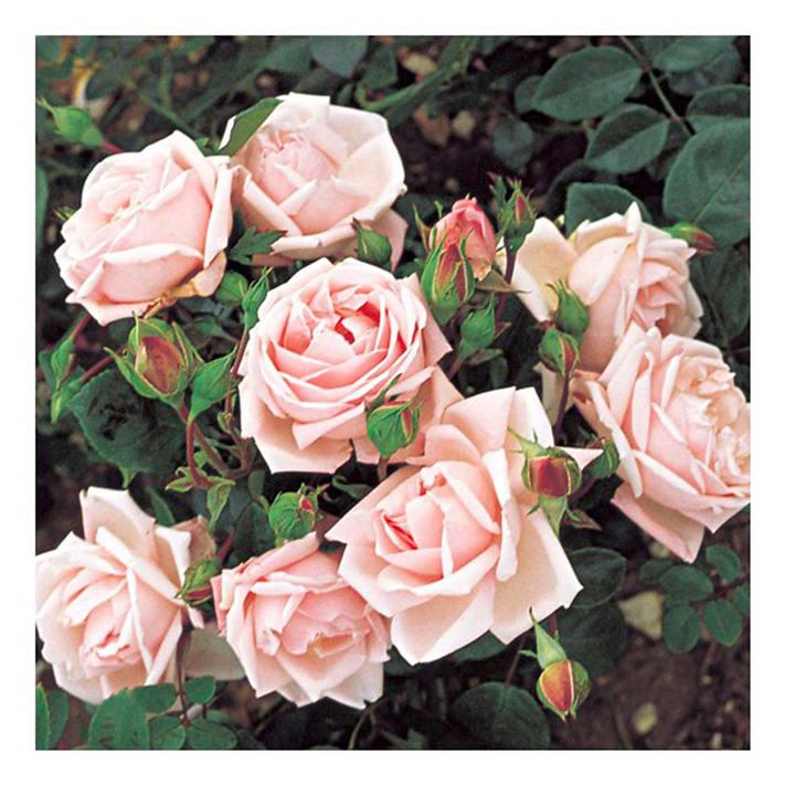 Rose Plant - New Dawn