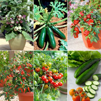 Patio Vegetable Plants - Collection