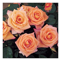 Multitudes of hybrid tea-like flowers in giant clusters. It is the best smoky orange-blend rose for mass planting. Scent 3. Colour bronzey range. Heig