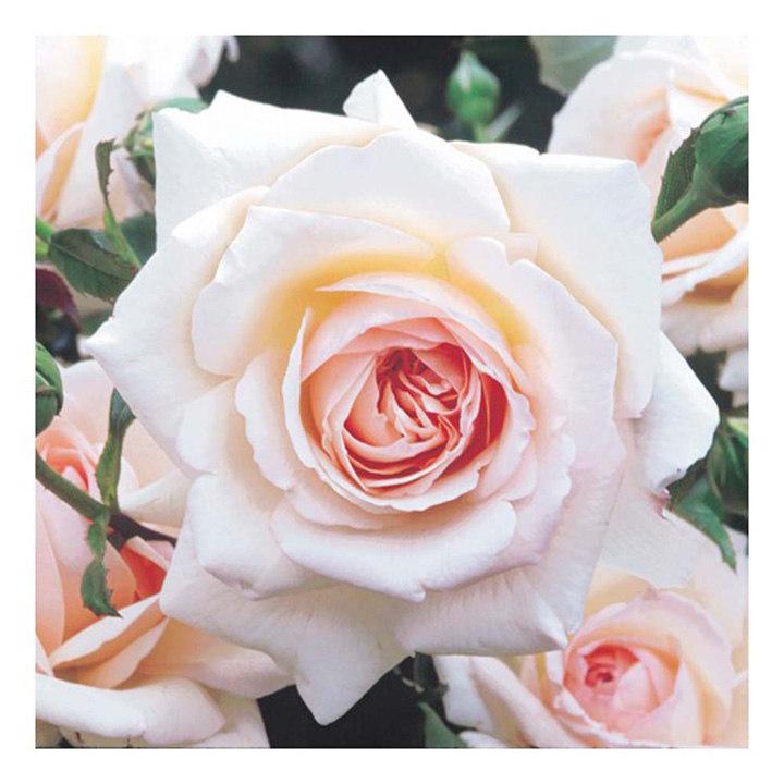 Rose Plant - Penny Lane