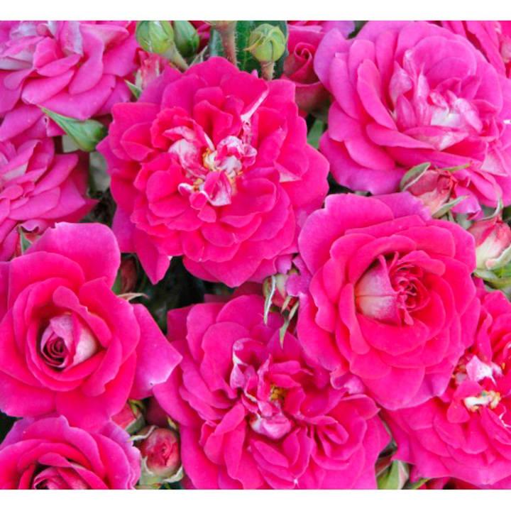 Rose Plant - Perfect Match