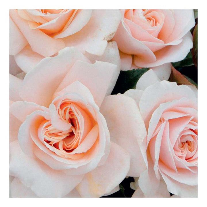 Rose Plant - Pride and Prejudice