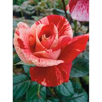 Rose Plant - Rachel Louise Moran