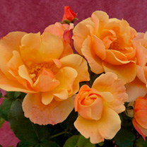 Rose Plant - Simple Gold
