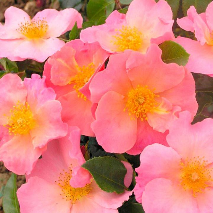 Rose Plant - Simple Peach