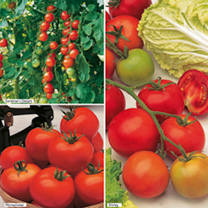 Single Grafted Tomatoes Customer Favourites incredibly easy to grow! You might think that all tomatoes are the same but there are actually many differ