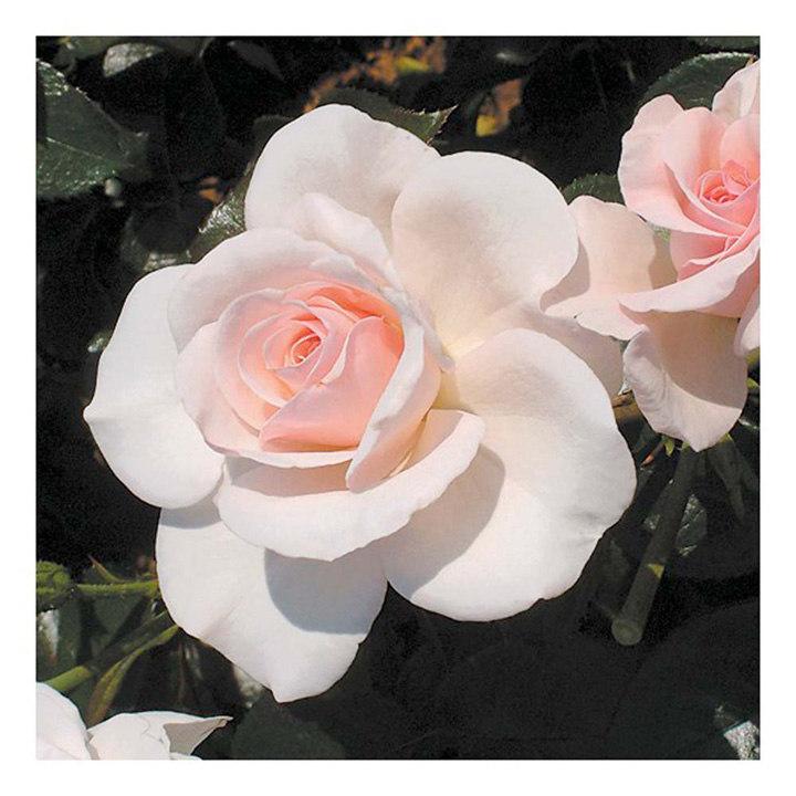 Rose Plant - Soham Rose