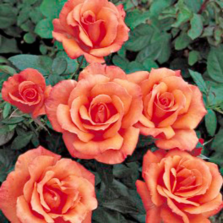 Rose Plant - Sunset Boulevard