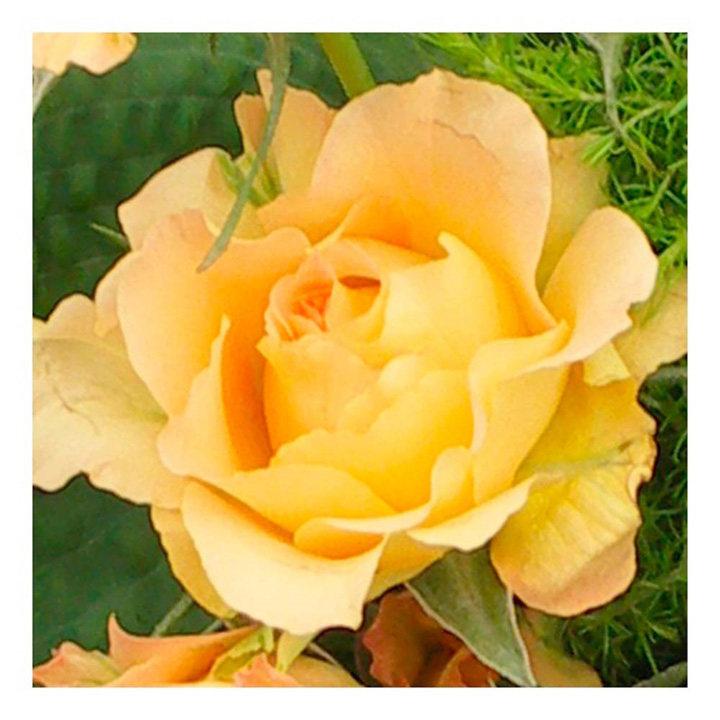 Rose Plant - Victoria Pendleton