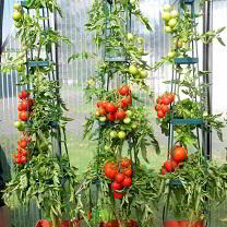 wondering which tomato to grow?